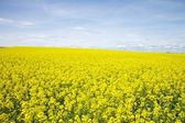 Yellow field full of flowers — Stock Photo