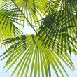 Green leaf palm - Stockfoto