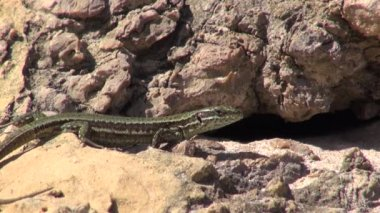 Lizard on the rocks — Stock Video