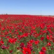 Red poppies field — Stock Video