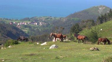 Asturian horses — Stock Video