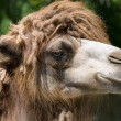 Stock Photo: Camel head