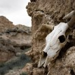 Stock Photo: Cow skull