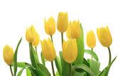 Yellow tulips over white — Stock Photo