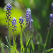 Muscari hyacinth in a de focused spring garden — Foto Stock