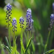 Muscari hyacinth in a de focused spring garden — Stock Photo