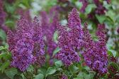 Montón de violeta flor lila en el jardín — Foto de Stock