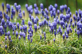Muscari hyacinth in spring garden — Stock Photo