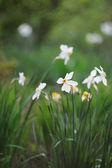 Beautiful white narcissus in spring garden — Stock Photo