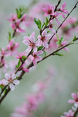 Bunch of pink blossom fruit tree — Stock Photo
