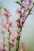 Bunch of pink blossom fruit tree — Photo