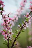 Bunch of pink blossom fruit tree — Stockfoto