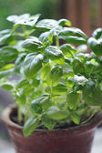Fresh spice and herbs in the garden. Green basil — Foto de Stock