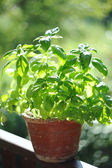 Fresh spice and herbs in the garden. Green basil — Zdjęcie stockowe