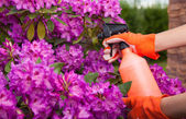 Protecting azalea plant from fungal disease — Stock Photo