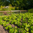 Stock Photo: Young beans growing in allotment