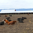 Resting cows, Suvie Island Oregon. — Stock Photo