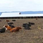 Resting cows, Suvie Island Oregon. — Stock Photo