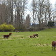Stock Photo: Grazing cows and green pastures, Oregon.