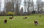 Grazing cows and green pastures, Oregon. — Stock Photo