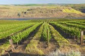 Row of fresh vines in the Columbia Gorge OR. — Stock Photo