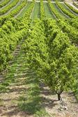 Pfirsich bäume obstgarten columbia riber schlucht oder. — Stockfoto
