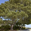 Large pine tree Point Loma San Diego California. — Stock Photo