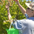 Stock Photo: Blueberries picking time Oregon.