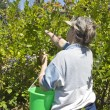 Blueberries picking time Oregon. — Stock Photo