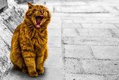 Zívání kočka — Stock fotografie