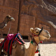 Camels waiting for a transport — Stock Photo