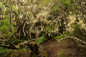 The primary forest of La Gomera — Stock Photo