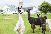 Four Lama's on farm in Amish country — Stock Photo