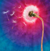 Dandelion on the long stem with flying seeds — Stock Photo