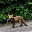 Stockfoto: Fox carries its prey