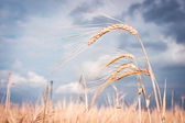Tahıl alanda — Stok fotoğraf