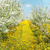 Orchard of blossoming cherry trees — Stock Photo