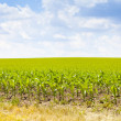 Stock Photo: AmericCorn