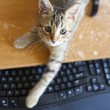 Cat with Keyboard - Foto de Stock