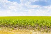 American Corn — Stock Photo