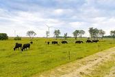 Vacas en un campo — Foto de Stock