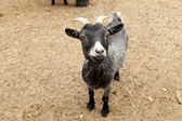 Black Funny Goat — Stock Photo