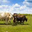Cows on field with blue sky — Stockfoto
