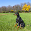 Young doberman — Stock Photo #17200105
