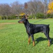 图库照片: Young doberman