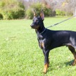 Young doberman — Stock Photo