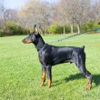 Young doberman — Stockfoto
