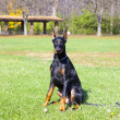 Young doberman — Stock Photo #17200169