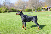 Unga doberman — Stockfoto