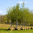 Trees Planting - Stock Photo